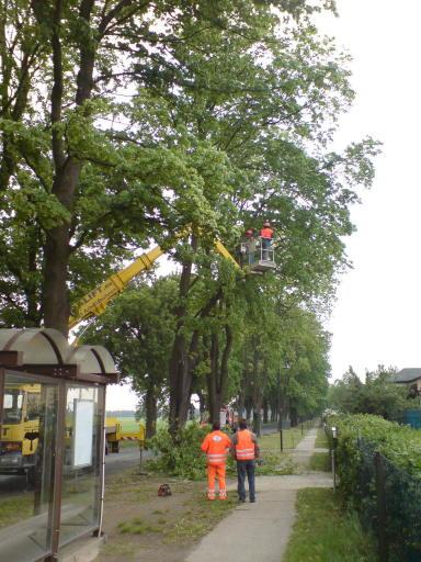 Baumpflege an der Allee Rüdnitz-Danewitz: Hier wird sie seit Jahren vernünftig praktiziert