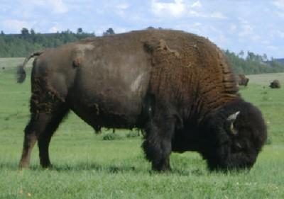 Bild 1: American Bison - Einst Sinnbild des Indianerlandes