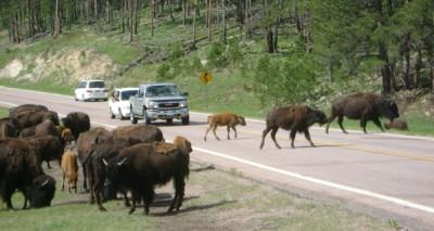 Bild 5: Diese findet man eher im - zugegebenermaßen wunderschönen und riesigen - Freiluftzoo nahebei, dem Custer State Park (einst auch Indianerland)...