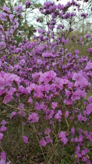Dahurischer Rhododendron im Forstbotanischen Garten Eberswalde